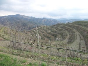 Vinyes on es produeix Clos Mogador