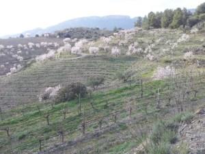 Vinyes on es produeix el vi Manyetes
