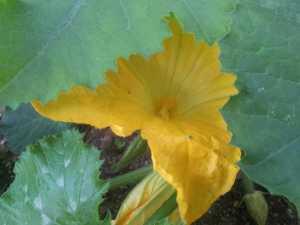 Flors de carbassó del nostre hort